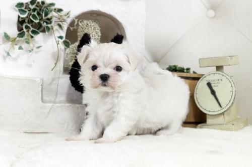 マルチーズの子犬(ID:1255411825)の1枚目の写真/更新日:2021-01-21