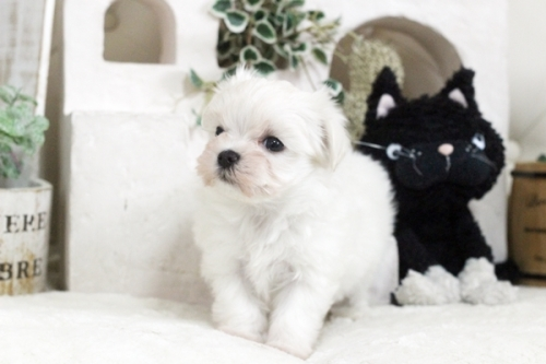 マルチーズの子犬(ID:1255411825)の2枚目の写真/更新日:2021-01-21