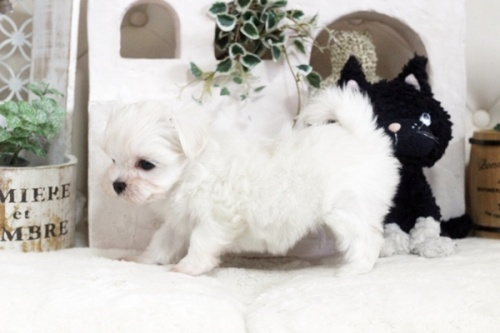 マルチーズの子犬(ID:1255411825)の3枚目の写真/更新日:2021-01-21