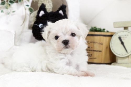 マルチーズの子犬(ID:1255411825)の4枚目の写真/更新日:2017-11-29