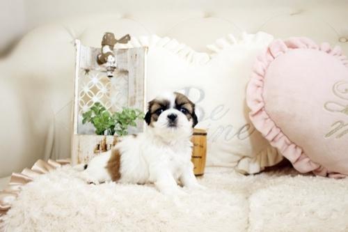 シーズーの子犬(ID:1255411826)の1枚目の写真/更新日:2017-12-29