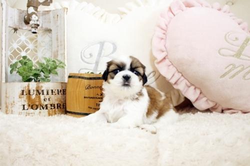 シーズーの子犬(ID:1255411826)の3枚目の写真/更新日:2017-12-29