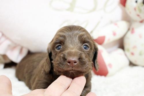 カニンヘンダックスフンド(ロング)の子犬(ID:1255411827)の1枚目の写真/更新日:2019-08-23