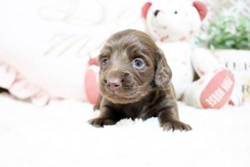 カニンヘンダックスフンド(ロング)の子犬(ID:1255411827)の2枚目の写真/更新日:2018-05-23