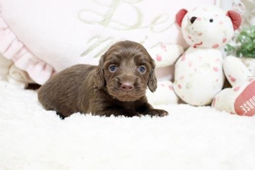 カニンヘンダックスフンド(ロング)の子犬(ID:1255411827)の3枚目の写真/更新日:2018-05-23