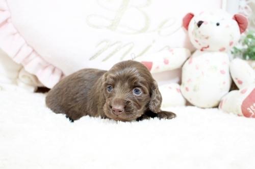 カニンヘンダックスフンド(ロング)の子犬(ID:1255411827)の4枚目の写真/更新日:2018-05-23
