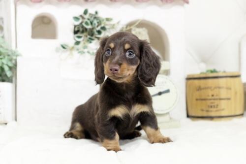 カニンヘンダックスフンド(ロング)の子犬(ID:1255411828)の1枚目の写真/更新日:2019-02-26