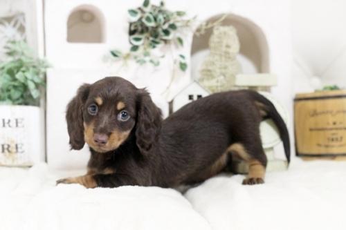 カニンヘンダックスフンド(ロング)の子犬(ID:1255411828)の2枚目の写真/更新日:2019-02-26