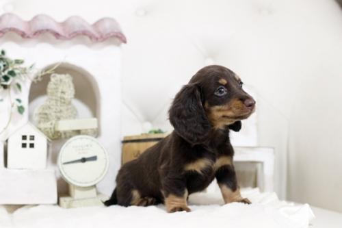 カニンヘンダックスフンド(ロング)の子犬(ID:1255411828)の3枚目の写真/更新日:2019-02-26