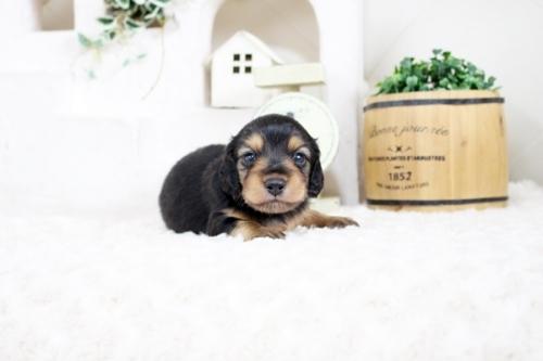 カニンヘンダックスフンド(ロング)の子犬(ID:1255411829)の1枚目の写真/更新日:2021-04-02