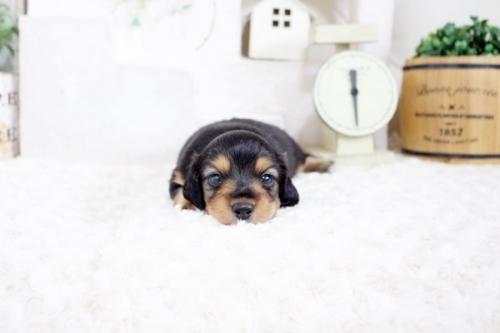 カニンヘンダックスフンド(ロング)の子犬(ID:1255411829)の2枚目の写真/更新日:2017-12-05