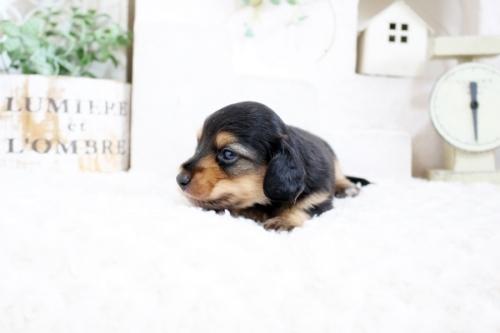 カニンヘンダックスフンド(ロング)の子犬(ID:1255411829)の4枚目の写真/更新日:2021-04-02