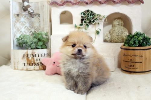 ポメラニアンの子犬(ID:1255411830)の1枚目の写真/更新日:2017-12-05