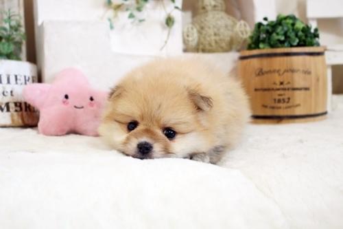 ポメラニアンの子犬(ID:1255411830)の2枚目の写真/更新日:2021-04-02