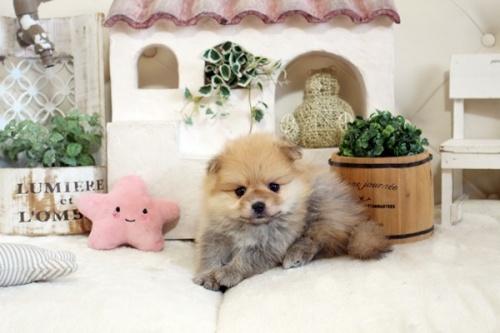 ポメラニアンの子犬(ID:1255411830)の3枚目の写真/更新日:2021-04-02