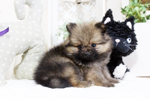 ポメラニアンの子犬(ID:1255411831)の1枚目の写真/更新日:2017-12-05
