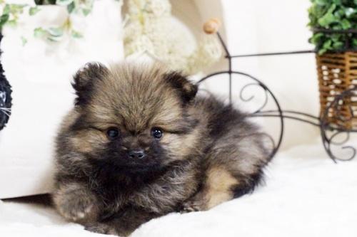 ポメラニアンの子犬(ID:1255411831)の2枚目の写真/更新日:2017-12-05