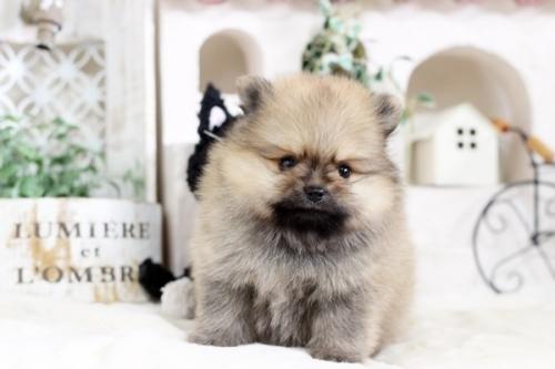 ポメラニアンの子犬(ID:1255411832)の1枚目の写真/更新日:2017-12-05