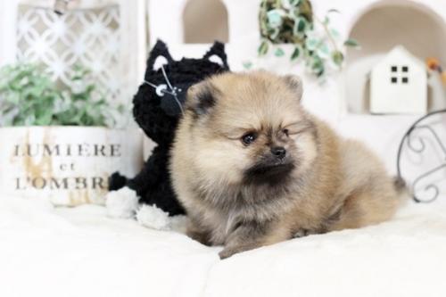 ポメラニアンの子犬(ID:1255411832)の2枚目の写真/更新日:2017-12-05