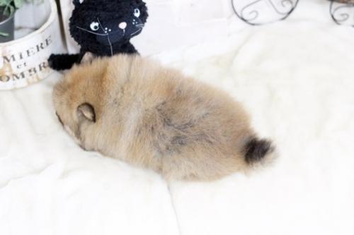 ポメラニアンの子犬(ID:1255411832)の3枚目の写真/更新日:2017-12-05