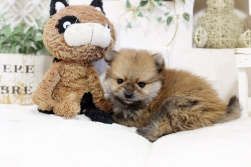 ポメラニアンの子犬(ID:1255411833)の1枚目の写真/更新日:2017-12-05