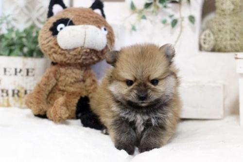ポメラニアンの子犬(ID:1255411833)の2枚目の写真/更新日:2017-12-05