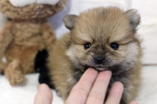 ポメラニアンの子犬(ID:1255411833)の3枚目の写真/更新日:2017-12-05