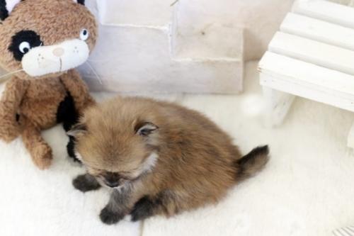 ポメラニアンの子犬(ID:1255411833)の4枚目の写真/更新日:2021-02-21