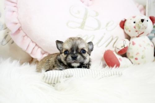 チワワ(ロング)の子犬(ID:1255411834)の1枚目の写真/更新日:2017-12-29