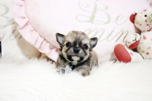 チワワ(ロング)の子犬(ID:1255411834)の2枚目の写真/更新日:2017-12-29