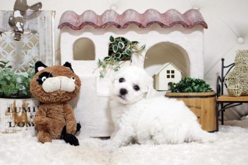 ビションフリーゼの子犬(ID:1255411835)の2枚目の写真/更新日:2017-12-09
