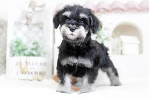 ミニチュアシュナウザーの子犬(ID:1255411836)の2枚目の写真/更新日:2017-12-09