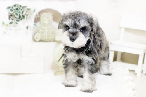 ミニチュアシュナウザーの子犬(ID:1255411837)の1枚目の写真/更新日:2021-02-27