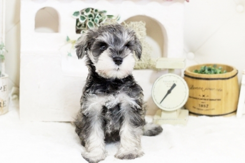 ミニチュアシュナウザーの子犬(ID:1255411837)の2枚目の写真/更新日:2017-12-09