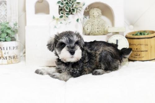 ミニチュアシュナウザーの子犬(ID:1255411837)の3枚目の写真/更新日:2021-02-27