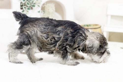ミニチュアシュナウザーの子犬(ID:1255411837)の4枚目の写真/更新日:2021-02-27