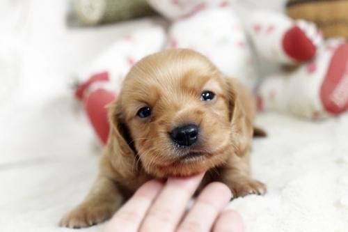 カニンヘンダックスフンド(ロング)の子犬(ID:1255411838)の1枚目の写真/更新日:2017-12-29