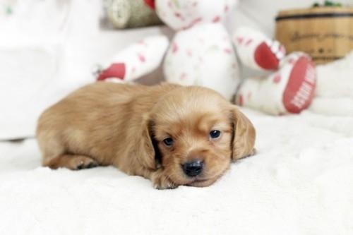 カニンヘンダックスフンド(ロング)の子犬(ID:1255411838)の2枚目の写真/更新日:2017-12-29
