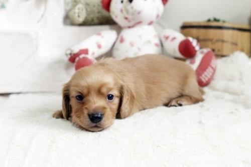 カニンヘンダックスフンド(ロング)の子犬(ID:1255411838)の3枚目の写真/更新日:2017-12-29