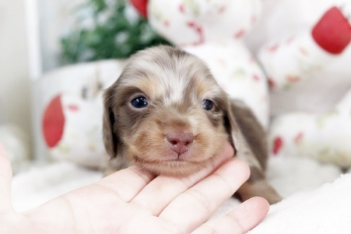カニンヘンダックスフンド(ロング)の子犬(ID:1255411839)の1枚目の写真/更新日:2018-12-11