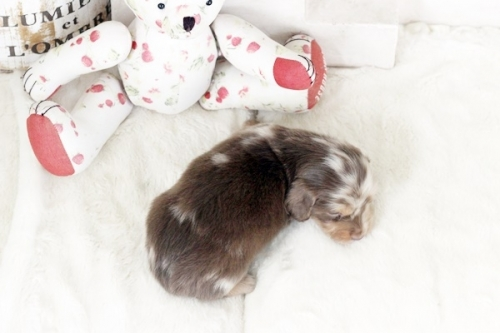 カニンヘンダックスフンド(ロング)の子犬(ID:1255411839)の2枚目の写真/更新日:2017-12-29
