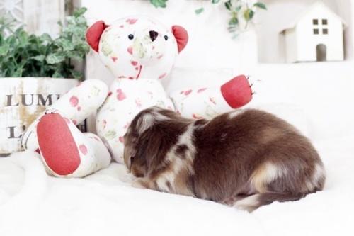 カニンヘンダックスフンド(ロング)の子犬(ID:1255411839)の3枚目の写真/更新日:2017-12-29