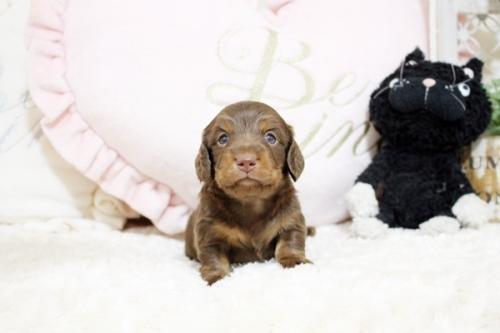 カニンヘンダックスフンド(ロング)の子犬(ID:1255411840)の1枚目の写真/更新日:2017-12-09