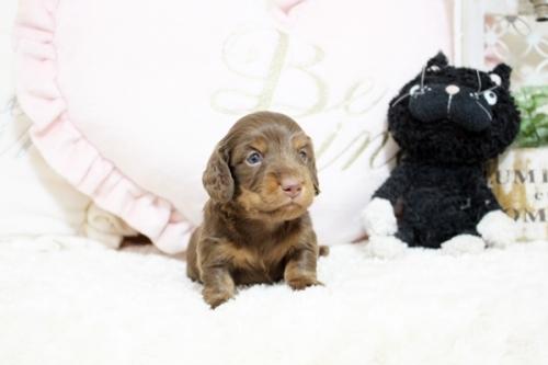 カニンヘンダックスフンド(ロング)の子犬(ID:1255411840)の2枚目の写真/更新日:2017-12-09