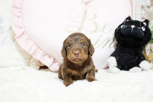 カニンヘンダックスフンド(ロング)の子犬(ID:1255411840)の3枚目の写真/更新日:2021-01-21