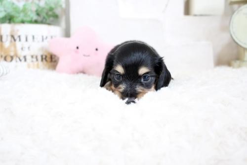 カニンヘンダックスフンド(ロング)の子犬(ID:1255411841)の2枚目の写真/更新日:2017-12-29