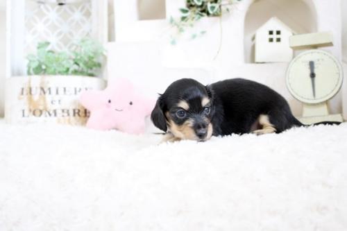 カニンヘンダックスフンド(ロング)の子犬(ID:1255411841)の3枚目の写真/更新日:2017-12-29