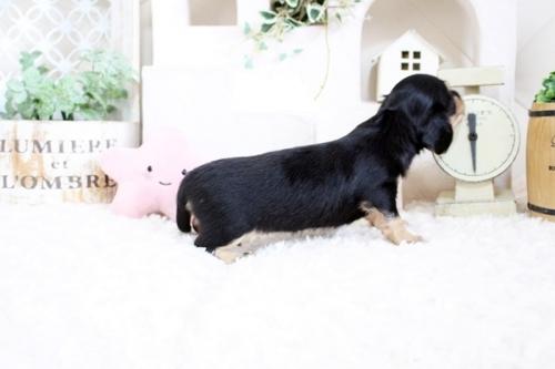 カニンヘンダックスフンド(ロング)の子犬(ID:1255411841)の4枚目の写真/更新日:2017-12-29