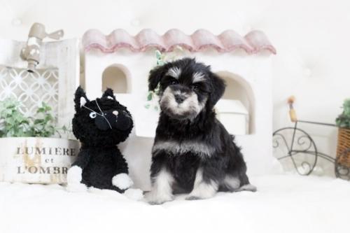ミニチュアシュナウザーの子犬(ID:1255411842)の1枚目の写真/更新日:2017-12-29