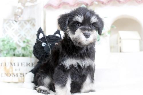 ミニチュアシュナウザーの子犬(ID:1255411842)の2枚目の写真/更新日:2017-12-29